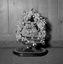couronne de mariée (hors de son globe) ; 24 juillet à 21h15 ; Surzur ; chez Mme Pierre ; [photo originale 15]