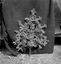 bouquet de conscrit chez les Le Quintrec, datant du 1er janvier 1938 (fleurs en papier rouge montées sur une banche de sapin) ; 21 juillet à 11h ; Surzur ; Kerlis ; [photo originale 98]