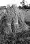 des gerbes de blé dans un champ à 400 m. à l'Ouest de Plomeur ; 03 août à 20h ; Plomeur ; [photo originale 217]